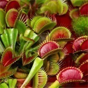 Venus Fly Traps - Pack of THREE Dionaea Muscipula Carnivorous Plants