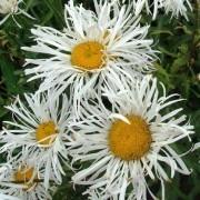 Leucanthemum 'Phyllis Smith' - Shasta Daisy
