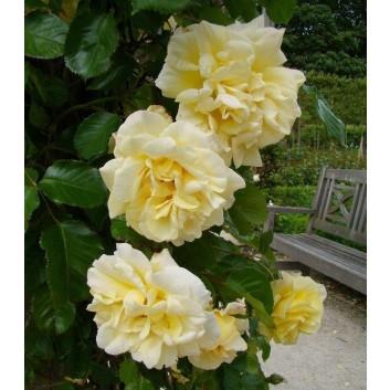 Rose Emily Gray - Rambling Rose