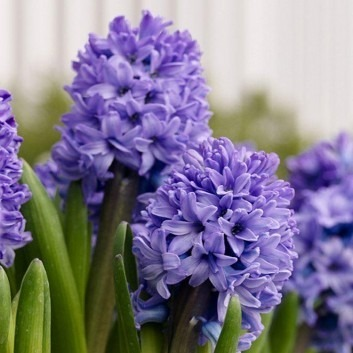 Blue Hyacinths in Bud