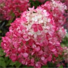 Hydrangea paniculata Diamant Rouge - Pack of THREE Plants