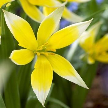 Tulipa tarda - Species Tulips