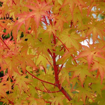 Acer palmatum Sango Kaku - Coral bark maple