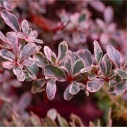 SPECIAL DEAL - Pyracantha Sparkler - Variegated Evergreen Pyracantha - Pack of THREE Plants