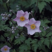 Anemone x hybrida September Charm - Windflower
