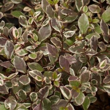 Lophomyrtus ralphii Multicolour