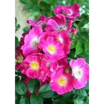 Rose American Pillar - Climbing Rose