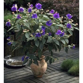 Tibouchina urvilleana - Princess Flower Patio Tree