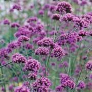 BULK PACK - Verbena bonariensis - Pack of TWELVE Plants