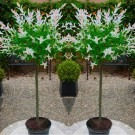 Pair of Standard Topiary Trees 'Salix Flamingo' with Large Flared Decorative Planters