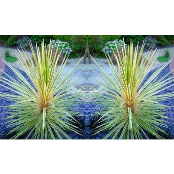 Pair of Cordyline Torbay Dazzler - Exotic Variegated Palms
