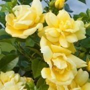 Rose Flower Carpet Gold