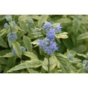 Caryopteris Summer Sorbet - Blue Mist Shrub