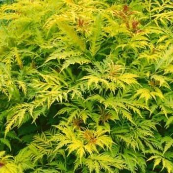 Sambucus racemosa aurea Sutherland Gold - Elder