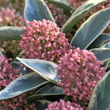 Skimmia Magic Marlot - A Jewel in your Garden - Pack of THREE Beautiful Plants