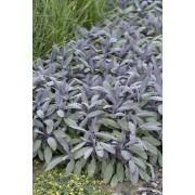 Salvia officinalis ''Purpurascens'' - Purple Sage