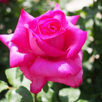 Rose Buxom Beauty - Hybrid Tea Rose