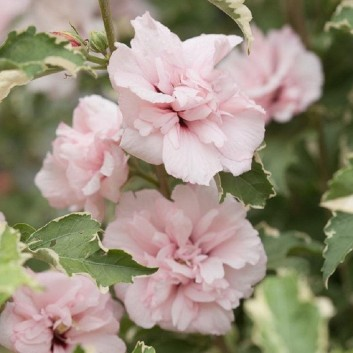 NEW & EXCLUSIVE - Hibiscus Sugar Tip - Rose of Sharon Double Flowering Variegated Hibiscus