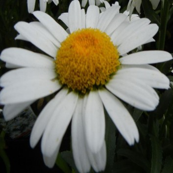 Leucanthemum Silver Princess