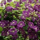 Clematis Etoile Violette - Late Summer Flowering Clematis