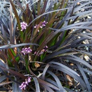 Ophiopogon planiscapus Nigrascens  - Black Mondo Grass - Pack of THREE Plants