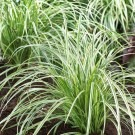 Carex Silver Sceptre - Pack of THREE Plants