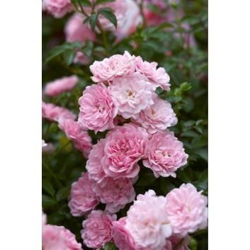 Rose Super Fairy - Climbing Rose