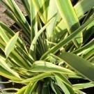 Phormium Duet - New Zealand Flax