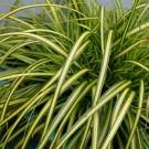 Carex oshimensis EverColor® 'Eversheen' - Evergreen Japanese Sedge
