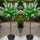 FLAMINGO TREES - Pair of Standard Topiary Salix Flamingo