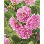 Rose Cornelia - Shrub Rose