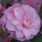 Camellia Rosa Spring Festival