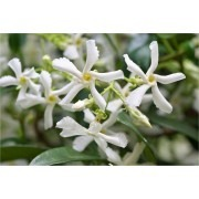 SPECIAL DEAL - Star Jasmin - Fragrant Evergreen Trachelospermum Climber