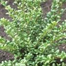Ilex crenata Convexa - Japanese Holly