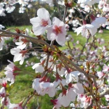 Prunus incisa Kojo-No-Mai - Fuji Cherry - Pack of THREE Plants