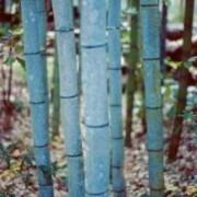 Phyllostachys nigra Henonis - Blue Bamboo 6ft+