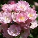 Rose Apple Blossom - Rambling Rose