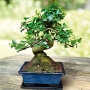 Beautiful Chinese Ligustrum 'curved S shape' Bonsai Tree with glazed dish and saucer in Large Gift Box