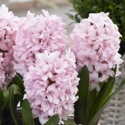 SPECIAL DEAL - Pink Hyacinths in Bud - Pack of THREE