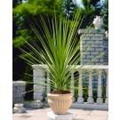 Cordyline australis - Green Torbay Palm
