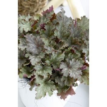 Heuchera Ebony and Ivory
