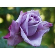 Rose Climbing Blue Moon - Climbing Rose