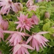 Clematis Country Rose - Spring Flowering Clematis