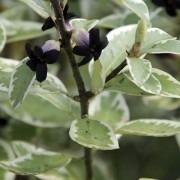 Pittosporum Tenuifolium Garnettii - 'Kohuhu'