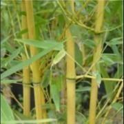 Phyllostachys aurea - Golden Cane Fishpole Bamboo