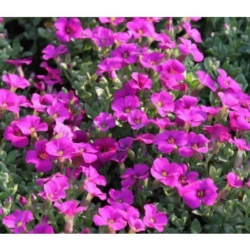 SPECIAL DEAL - Aubretia gracilis Kitte Rose-Purple - Pack of THREE Plants