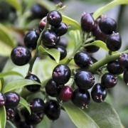Sarcococca confusa - Sweet Box Sarcococca