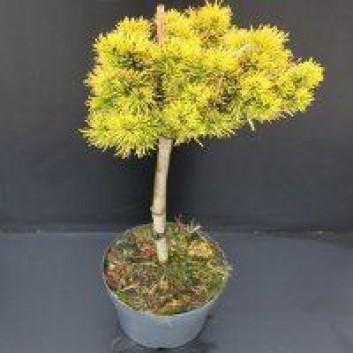 Pinus mugo Winter Gold - Golden Mountain Pine Minature STANDARD Tree