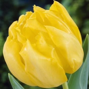 Tulipa Monte Carlo - Double Peony Flowered Tulips