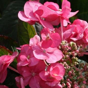 Hydrangea serrata Santiago - Japanese Lacecap Hydrangea